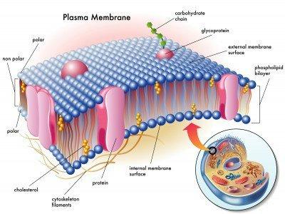 Plazmaferezis és a fogyás