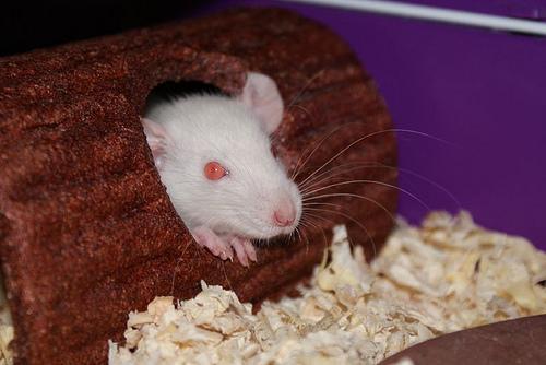 háziállat patkány fogyás és nehéz légzés