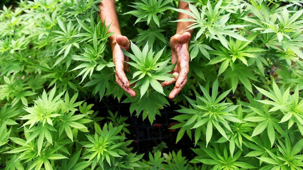 marihuána segíthet a fogyásban)