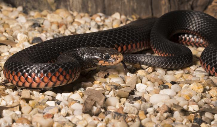 fogyni kígyó