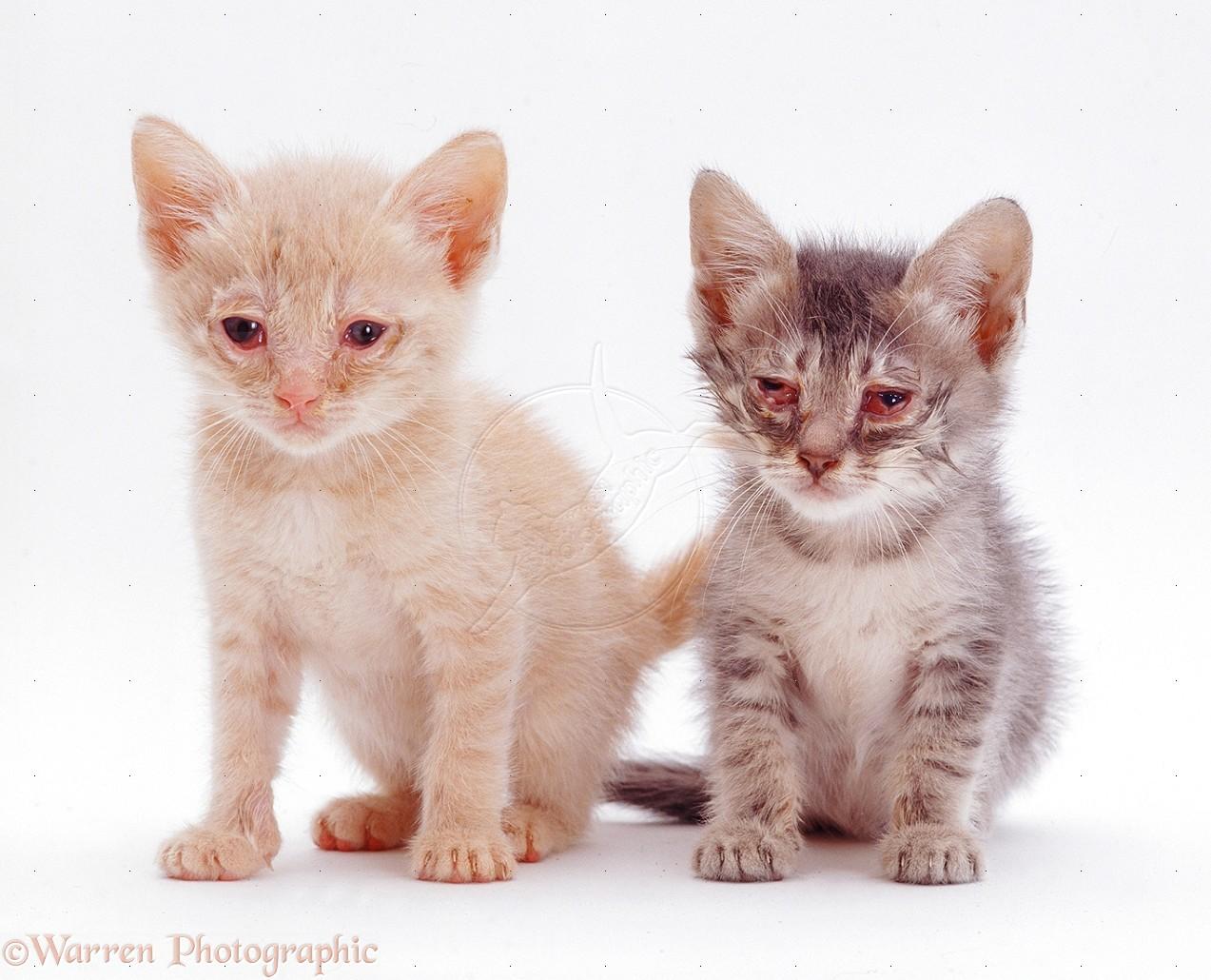 macska gyulladásos bélbetegség fogyás)