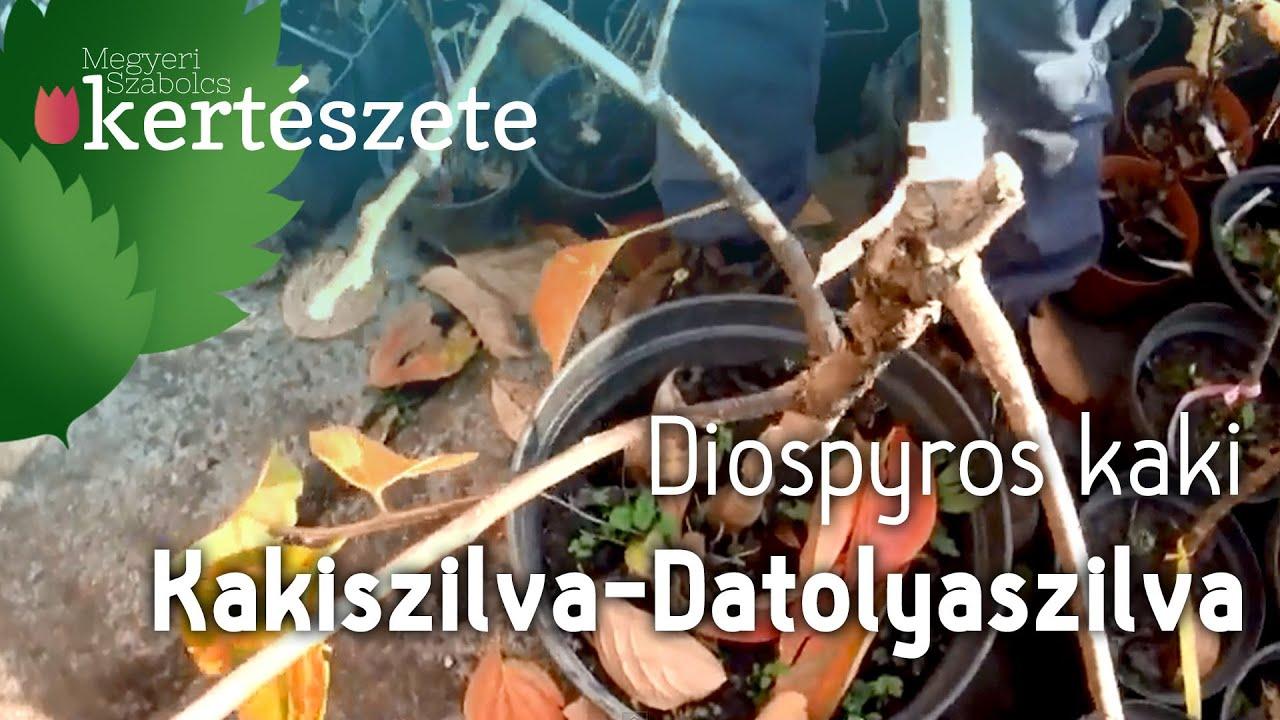 kaki zsírégetés)