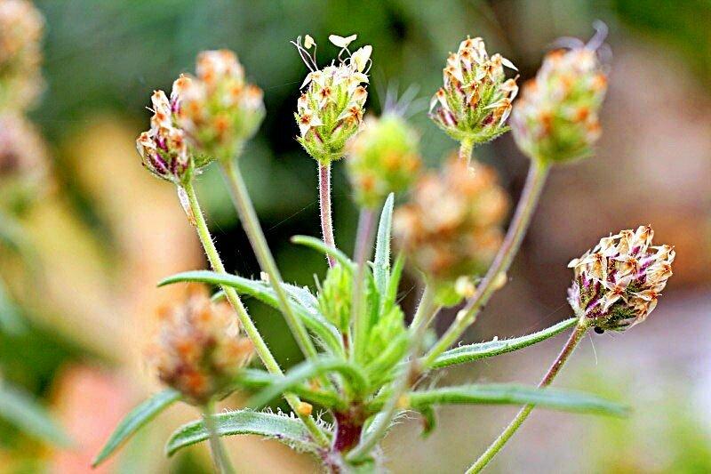 természetes gyógynövény, amely segít a fogyásban)