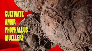 amorphophallus konjac fogyás ellen