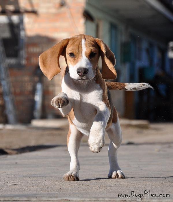 az elhízott beagle fogy