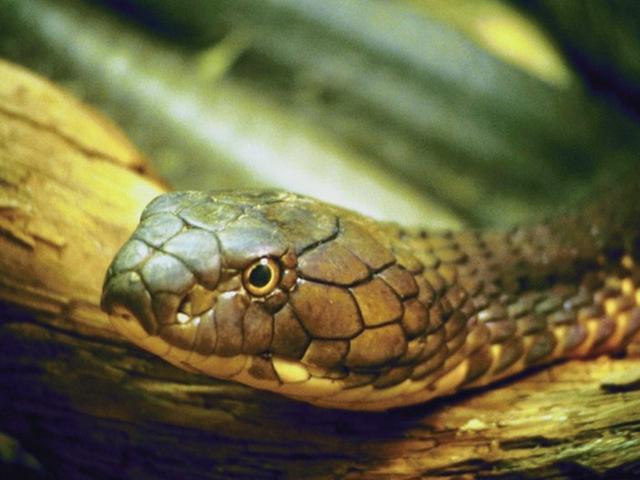 fogyni kígyó)