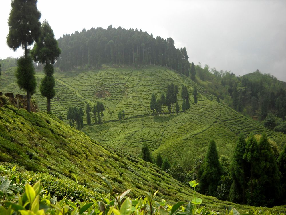 indonézia fogyókúrás tea)