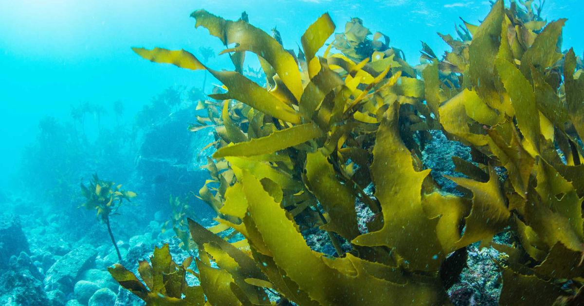tengeri moszat fogyni