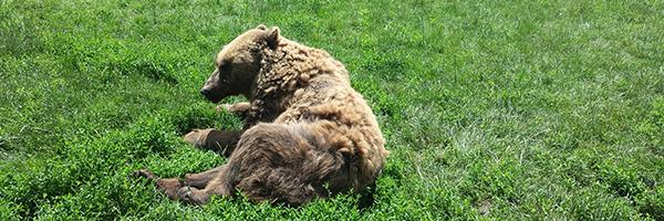 fogyás medve)