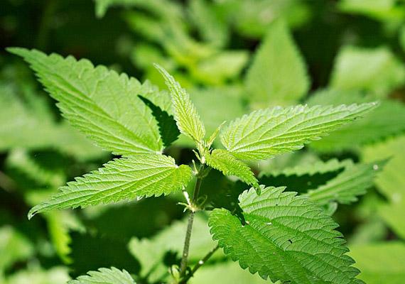 természetes gyógynövények a zsírégetés elősegítésére)