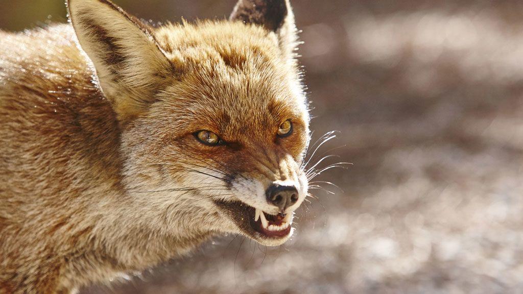 nagy buddha róka 13 fogyás