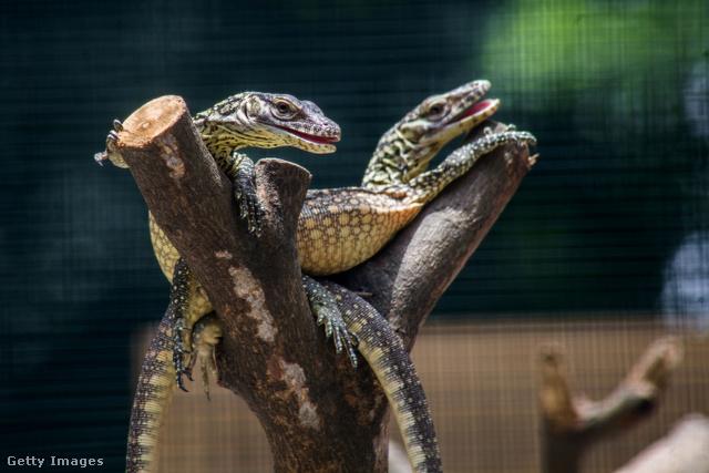 amerikai sárkányok zsírégető